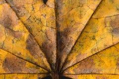 Palmate liścia tło Obrazy Stock