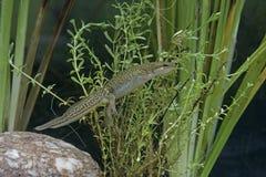 Palmate newt, Triturus helveticus Stock Images