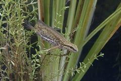 Palmate newt, Triturus helveticus Stock Image