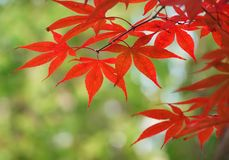 Palmate red autumn Stock Image