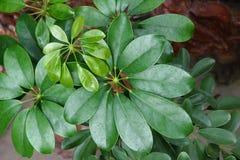 Palmately compound leaf Royalty Free Stock Photo