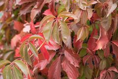 Palmately compound leaves of Parthenocissus quinquefolia. In autumn Stock Photography