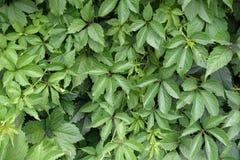 Palmately folhas do composto da trepadeira de Victoria Fotografia de Stock