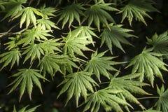 Palmatifolium för Acer shirasawanum` `, Arkivbilder
