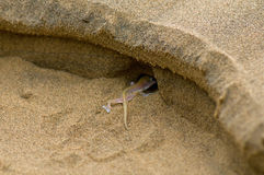 Palmato gecko going into his hole. Royalty Free Stock Photo