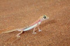 Palmato gecko lizard. Macro of a Palmato gecko taken in the Nambib desert in Nambian, Southern Africa Stock Images