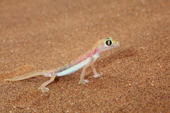 Palmato gecko lizard side view Royalty Free Stock Image