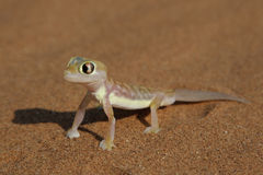 Palmatogecko royalty free stock images