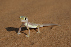 Palmatogecko Stock Photo