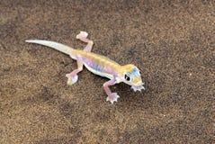 Palmatogecko, Namíbia Foto de Stock