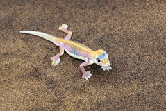Palmatogecko, Namibië Stock Foto