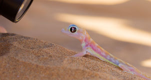 Palmatogecko (Pachydactylus rangei), also known as Web-footed Ge Stock Image