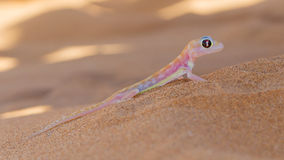 Palmatogecko (Pachydactylus rangei), also known as Web-footed Ge Royalty Free Stock Image