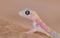 Palmatogecko (Pachydactylus rangei), also known as Web-footed Ge Stock Photos