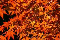 Palmatum d'Acer, généralement connu sous le nom d'érable palmate, érable japonais ou Japonais-érable lisse Image libre de droits