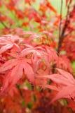 Palmatum de Acer del arce japonés Foto de archivo