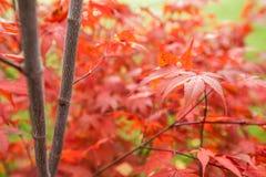 Palmatum de Acer del arce japonés Foto de archivo libre de regalías