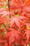 Palmatum de Acer del arce japonés Imágenes de archivo libres de regalías