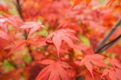 Palmatum de Acer del arce japonés Fotografía de archivo