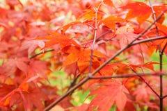 Palmatum de Acer del arce japonés Imagen de archivo