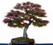Palmatum van Acer als bonsaiboom Stock Foto