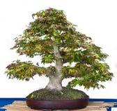 Palmatum van Acer als bonsaiboom Royalty-vrije Stock Fotografie