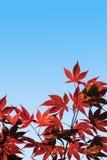 Palmatum van Acer, Rode Esdoorn - met het knippen van weg Stock Foto