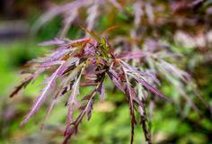 Palmatum var acer кленовых листов красного дракона японское Стоковое Изображение RF