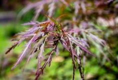Palmatum vermelho var de Acer das folhas de bordo de Dragon Japanese Imagem de Stock Royalty Free