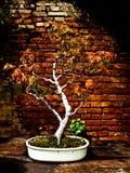 Palmatumbonsai van Acer Stock Foto's