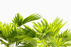 Palmblätter auf weißem Hintergrund Stockfotos