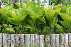 Palmblad Royaltyfri Bild