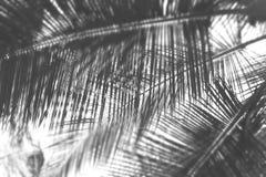 Palmblad - abstrakt naturlig bakgrund med suddighet i Grey Scale arkivfoton