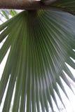 Palmblad av bismarckianobilisarecaceaen, bismarckpalm från Madagaskar royaltyfria bilder