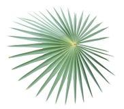 Palmblad dat op witte achtergrond wordt geïsoleerde Stock Fotografie