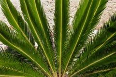 Palmblad för lång gräsplan på vit bakgrund Royaltyfria Bilder