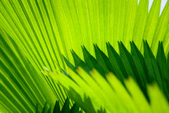 Palmblad met diagonale lijnenclose-up Stock Foto
