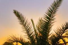 Palmblad mot bakgrunden av en ljus solnedgång och en klar himmel Arkivbild