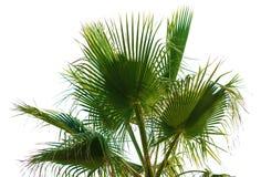 Palmblad på en vit bakgrund Arkivfoto