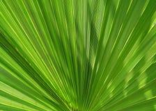 Palmblad som en fan arkivbild