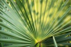 Palmblad, Textuur en patroon van een groen blad, Vers groen blad van tropische palm royalty-vrije stock fotografie