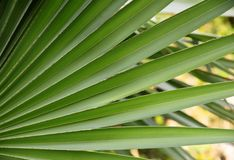 Palmblad, Textuur en patroon van een groen blad, Vers groen blad van tropische palm stock foto
