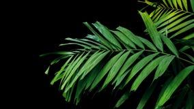 Palmblad tropisk lövverkväxt som växer i löst på svartbac Arkivfoto