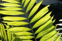 Palmbladachtergrond Stock Afbeeldingen