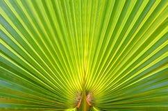 Palmbladagaistsolljus Abstrakt grön texturbakgrund Slut upp, kopieringsutrymme Fotografering för Bildbyråer