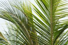 Palmbladboom royalty-vrije stock foto