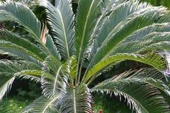 Palmbladen Royalty-vrije Stock Afbeelding
