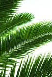 Palmbladen Royalty-vrije Stock Fotografie
