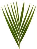 Palmbladen op wit Stock Afbeeldingen