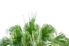 Palmbladen op wit ge?soleerde achtergrond voor groene gebladerteachtergrond royalty-vrije stock foto